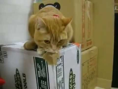 「[ネコ]エサの合図がするとエサが出てくるまで居ても立ってもいられない猫。」のイメージ