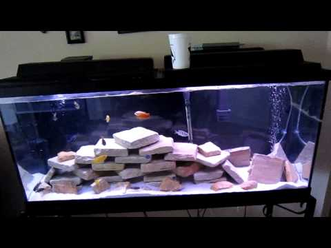 cichlid - This is just my two cents on setup, stocking, and maintenance on a Malawi lake style Cichlid tank. There are tons of different ways you can maintain, stock, ...