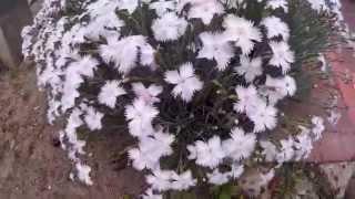 Гвоздика травянка — выращивание из семян