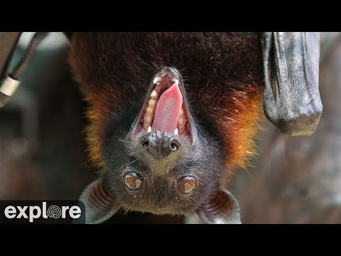 Vampirfledermäuse - Vampire Bats - Org. for Bat Co ...