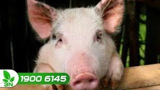 Trị bệnh tụ huyết trùng thể quá cấp tính cho lợn