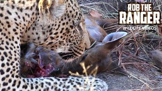 Video Big Male Leopard Eats Entire Newborn Nyala MP3, 3GP, MP4, WEBM, AVI, FLV Desember 2018