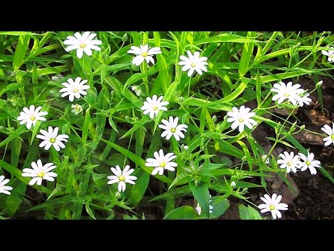Трава мокрица (звездчатка средняя). Лечебные свойства и применение мокрицы в народной медицине