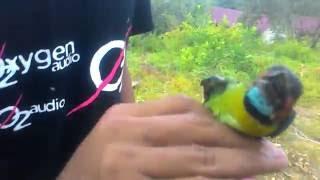 Download lagu Menggetah Burung Kutilang Dapat Burung Cantik Warn Mp3