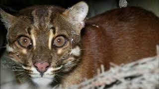 Download Video Heboh di Aceh, Bukan Anak Harimau tapi Kucing Emas MP3 3GP MP4