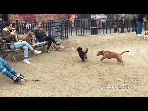 World's Quickest Little Dog