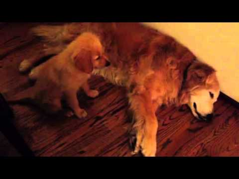 golden retriever puppy comforts his daddy during nightmare