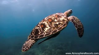 Diving with giant Turtle at Chapel Point, Apo Island