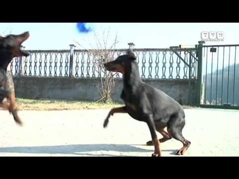 Questo video è stato girato in allevamento per far conoscere meglio la Razza Dobermann