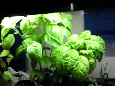 how to harvest basil aerogarden