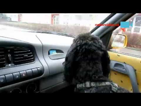 Pudl Denny a stěrače v autě