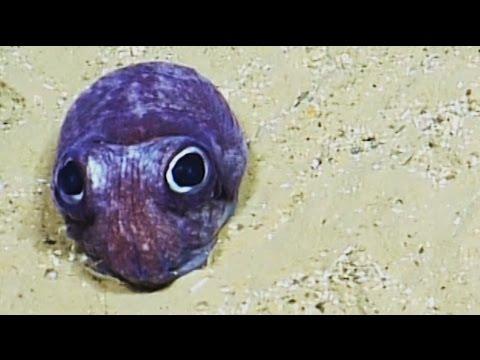Cute Bobtail Squid | Nautilus Live