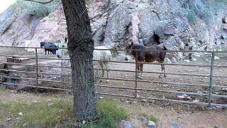 "Two frisky mules ""horsing around"" at the bottom of Grand Canyon at Phantom Ranch. Do they like or dislike each other? You be ..."