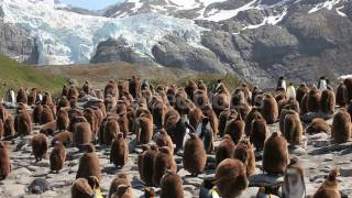 KING PENGUIN COLONY ON SOUTH GEORGIA HBYIEMXD