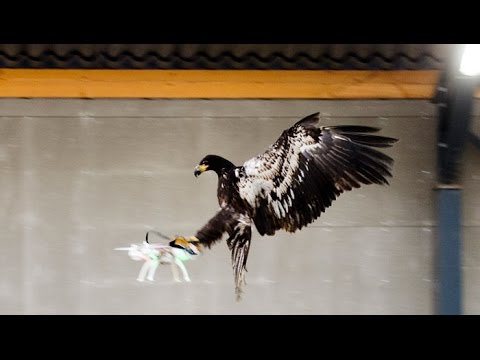 Released by her keeper, a white-tailed eagle glides straight toward the drone, clutches it easily in her talons - clack! - and drags it to the ground.