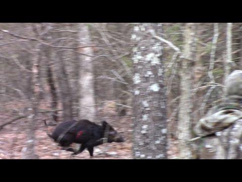Bowhunting Hogs Using Muzzy Broadheads