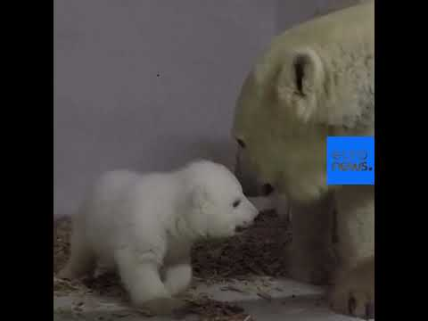 Αρκουδάκι παίζει με τη μητέρα του στον ζωολογικό κήπο