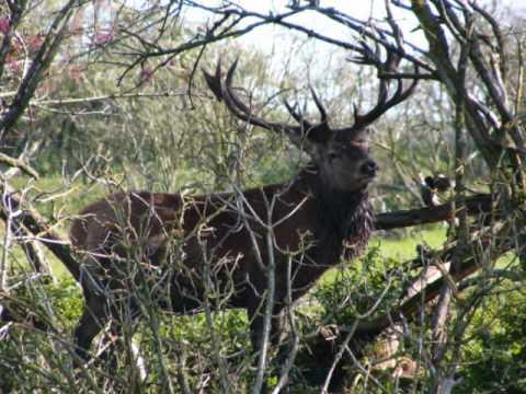Deer in Folklore & Myth