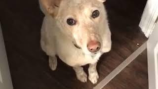 Ten pies chciał wyjść na spacer. Sposób, w jaki poprosił o to swojego pana, rozczula każdego!