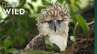 Watch an Endangered Philippine Eagle Chick Grow Up in Rare Video   Nat Geo Wild by Nat Geo WILD