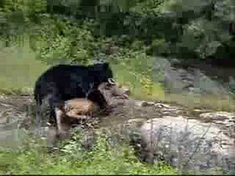 Bear Kills Moose