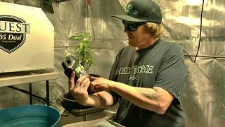 Monster Cropping & Transplanting Cannabis by John Berfelo