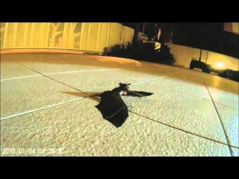 走失又還不會飛的蝙蝠寶寶在屋頂上哭泣,2分鐘後竟然有一道黑影直接朝牠衝過來!