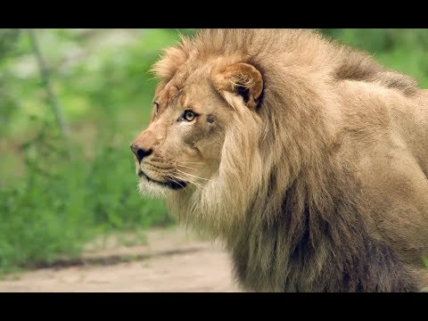 THE LION KING Visits the Bronx Zoo: Lion Exhibit
