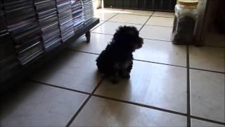 Cute&Funny Poodle Puppy - Tierno Cachorro Jugando