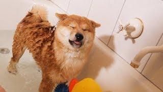 Video Shiba Puppys First Bath (Not Happy) MP3, 3GP, MP4, WEBM, AVI, FLV Oktober 2018