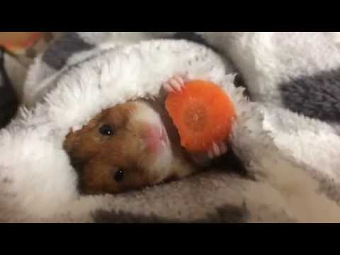 Tiny Hamster Adorably Eats A Carrot Before Bed [WATCH]