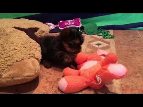 Female yorkie puppy Tiny