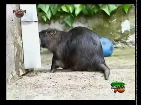 willy la nutria! un animale domestico eccezionale