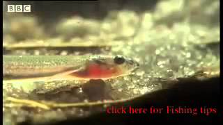 Horror story: Candiru: the Toothpick Fish - Weird Nature - BBC animals