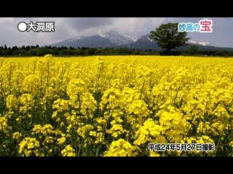 日本の宝妙高へ「大洞原・菜の花畑」