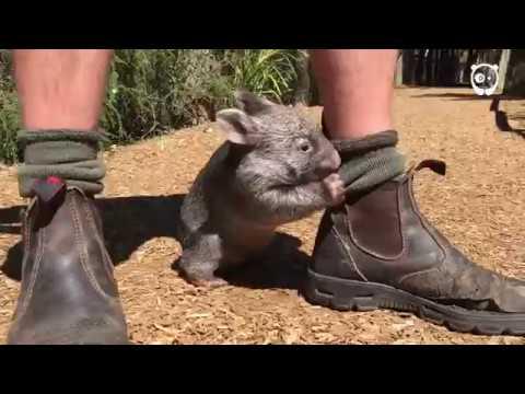 cucciolo-di-wombat-segue-il-suo-nuovo-papa-umano-ovunque-vada