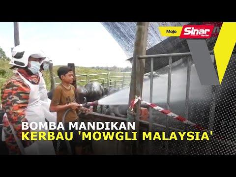 Bomba mandikan kerbau 'Mowgli Malaysia'