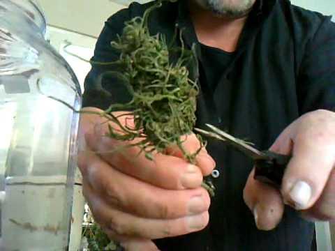 How to Harvest Marijuana Plants