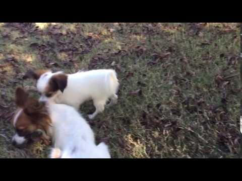 AKC female papillon white and sable