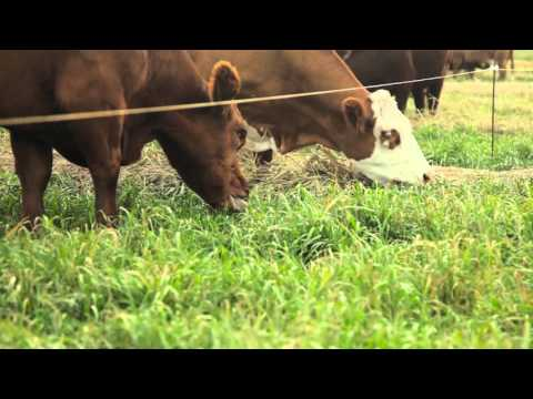 Feed quality in swath grazing