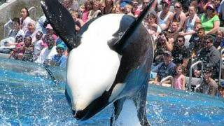 """Video SeaWorld's old """"Shamu"""" show (with trainers in the water!) MP3, 3GP, MP4, WEBM, AVI, FLV Agustus 2018"""