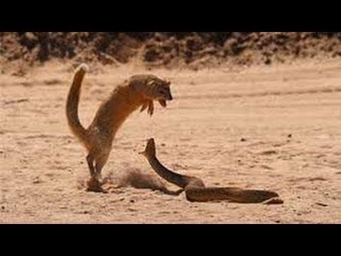 Cobra vs  Mongoose Compilation Top 5 Best Videos Ever