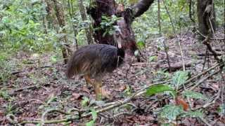 Daintree Australia  City pictures : Animals of the Daintree Rainforest