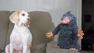 Platypus Thief Niffler vs Funny Dogs Maymo, Penny, & Potpie