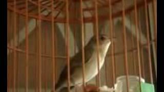 Burung Pelanduk semak/drodot Gacor