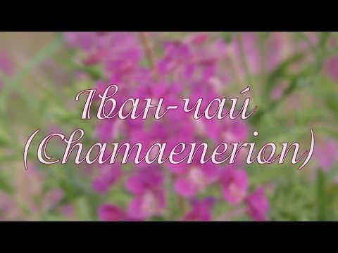 Библиотека: Иван-чай. Chamaenerion
