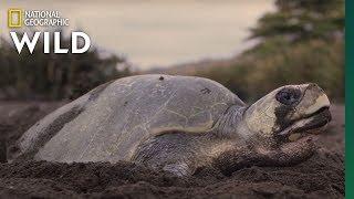 A Mass Synchronized Nesting Event | Jaguar Beach Battle by Nat Geo WILD