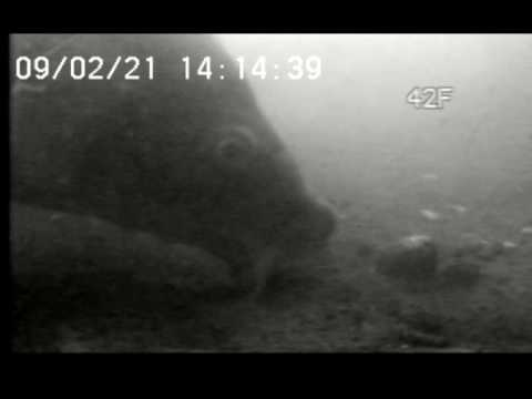 Carpe filmée sous l'eau