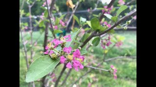 One week ago, we moved a Barbados Cherry tree (also known as Acerola) from a container into the ground. Within that week, the...