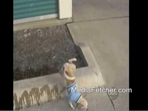 peeing chihuahua